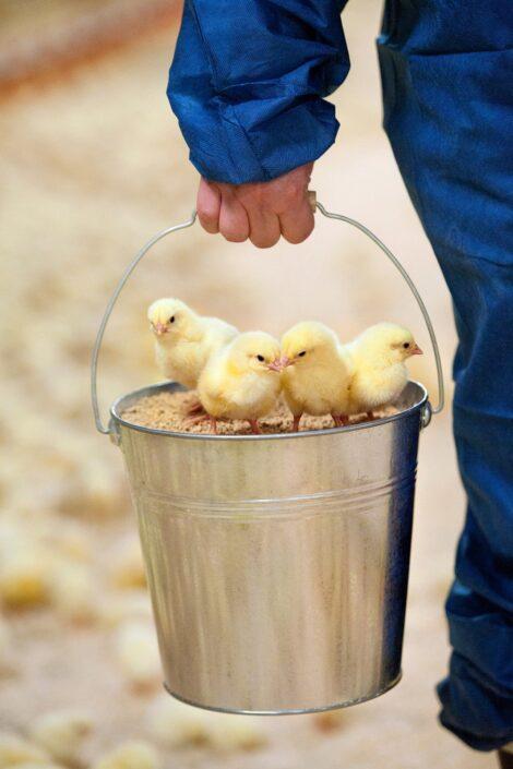 Dag gamle kyllinger hos kyllingsproducent.